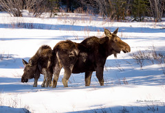 Sticking close to mom (Happy Photographer) Tags: winter baby snow wildlife moose grandtetonnationalpark gtnp amyhudechek
