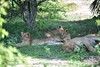 lion cubs in the Southern parks