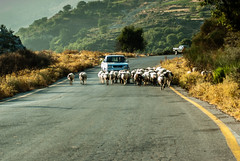 Modern Shepherd (Jan Herremans) Tags: road sheep shepherd greece crete suv 2008 janherremans
