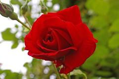 """🎋ความหมาย⚜""""ดอกกุหลาบสีแดง"""" 🍃🌹✨ไม่ว่าจะเป็นดอกกุหลาบ สีแดงอ่อน หรือสีแดงสด บ่งบอกถึงการตกหลุมรักหรือแอบปลื้มใครซักคน เป็นสื่อแทนใจเพื่อจะบอกให้รู้ว่ามีคนกำลัง แอบปลื้มอยู่ ส่วนดอกกุหลาบสีแดงเข้ม ถ้ามีใครให้ดอกกุหลาบสีแดง"""