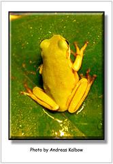 Litoria caerulea (1) (Vogelfoto69) Tags: nature natur frog frogs nrw frosch terrarium caerulea frsche amphibien naturfreund litoria naturschutz nabu naturfoto terraristik korallenfinger naturfilm naturdokumentation naturfilmer naturfotograph andreaskalbow
