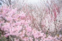 20160305-DSC_1380.jpg (d3_plus) Tags: park street sky plant flower nature festival japan garden drive nikon scenery plum bloom  28105mmf3545d odawara nikkor  ume  kanagawa  touring      28105   28105mm   umeblossom   zoomlense    28105mmf3545 d700 281053545 kanagawapref nikond700 aiafzoomnikkor28105mmf3545d 28105mmf3545af aiafnikkor28105mmf3545d