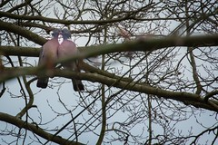 Love birds (CUTHUT.TV) Tags: winter bird love nature kiss pigeon wildlife sigma berkhamsted canon5d hertfordshire woodpigeon 600mm