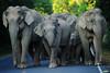 Asian Elephants, Elephas maximus in Khao Yai national park (tontantravel) Tags: park wild elephant asian thailand asia southeastasia indian national elephants wilderness southeast maximus asianelephant khao asiatic yai elephasmaximus indianelephant khaoyai asiaticelephant wildelephant elephas indianelephants khaoyainationalpark asianelephants asiaticelephants wildelephants tontantravel tontantravelcom