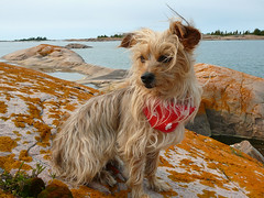 Canada Day (molajen) Tags: georgianbay lichen canadaday yorkiepoo dogscarf