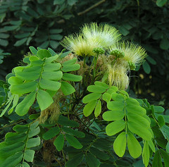 Albizia antunesiana (Dick Culbert) Tags: flower tanzania fabaceae albizia taxonomy:family=fabaceae geo:lat=718 geo:long=3750 taxonomy:common=purpleleafalbizia taxonomy:binomial=albiziaantunesiana