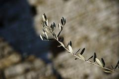 EVO #3 (S. Hemiolia) Tags: zeiss bokeh olive 180 tuscany toscana f28 olivo ulivo cennina d700