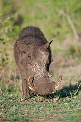 facocero-dic.2015_2233b (Marco Pozzi photographer (750k+ views, thanks)) Tags: africa southafrica krugernationalpark warthog kruger pozzi sudafrica facocero specanimal marcopozzi marcopozziphotographer