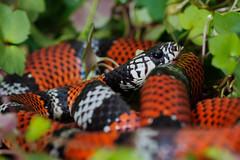Erytrolampus sp. (fjgamarrafoto) Tags: macro colombia snake culebra colubridae falsacoral erytrolampus franciscogamarra