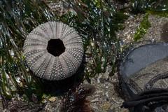 IMG_3165 (armadil) Tags: macro beach beaches urchin seaurchin mavericks californiabeaches
