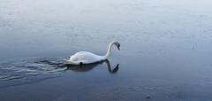 Icebreaker Mute swan (Jevgenijs Slihto) Tags: bird ice gelo river swan sony birding pajaro icy eis hielo cygne cisne vogel oiseaux glace muteswan cygnusolor cygnus ledus hckerschwan daugava cisnebranco cisnemudo  gulbis cisneblanco cygnetubercul  uccelo cisnevulgar cygnemuet hx300 sonyhx300