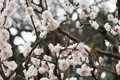 ... (PAG_AP) Tags: ume japaneseapricot