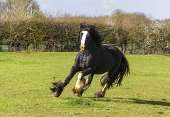 IMG_1360 (Kev Gregory (General)) Tags: horse happy jump play harry gregory kev charge gallop