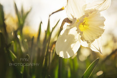Week 6 / 52 - From a Low Angle (Fi-Nix Photography) Tags: flowers nature floral canon photography scotland spring edinburgh seasons artistic alba unitedkingdom bokeh blossoms imagination scotia challenge caltonhill daffodils backlighting 52weekchallenge finixphotography