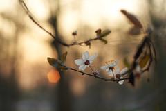 Facing the Ninja Sun, Bois de Vincennes, Paris (TournicO) Tags: sun paris de blossom none bokeh ninja sony konica 40mm f18 f28 a7 bois vincennes hexanon