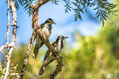Blue Faced Honeyeater and Juvenile 710_7641.jpg (Mobile Lynn) Tags: wild bird nature birds fauna wildlife ngc australia npc queensland bluefacedhoneyeater honeyeater entomyzoncyanotis eungella coth greatphotographers specanimal coth5 sunrays5