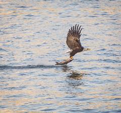 Lift off. (Omygodtom) Tags: wild fish bird nature oregon portland nikon natural eagle wildlife animalplanet birdsofpray d7100 nikon70300mmvrlens urbunnature