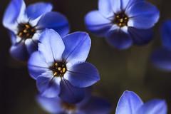 Shooting Petal (majestiele.co.uk) Tags: blue sky macro beautiful petals bokeh navy petal bloom pollen