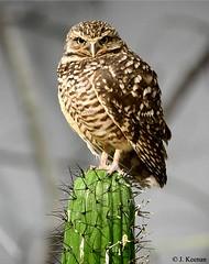 Burrowing Owl - Athene cunicularia (HGHjim) Tags: athenecunicularia burrowingowl