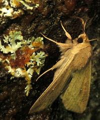 bug of the day (urtica) Tags: usa night insect ma massachusetts moth bugoftheday lepidoptera noctuidae carver carverma mythimna mythimnaunipuncta mylesstandishstateforest armywormmoth whitespeck