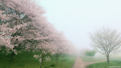 misty (it05h1) Tags: morning flowers mist flower tree nature japan misty fog cherry landscape spring haze blossom blossoms foggy cherryblossom sakura cherryblossoms saitama hazy cherrytree mushy filmy fumy satte rimy japanscape it05h1