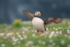 Puffin Flap (Kristian Bell) Tags: uk wild bird wales canon bell puffin kris kristian 2012