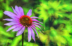 Purple Coneflower (Quincey Deters) Tags: summer canada flower texture nature composite flora day purple bright echinacea outdoor multicoloured august colourful blackeyedsusan allrightsreserved purpleconeflower 2015 colourimage quinceydeters