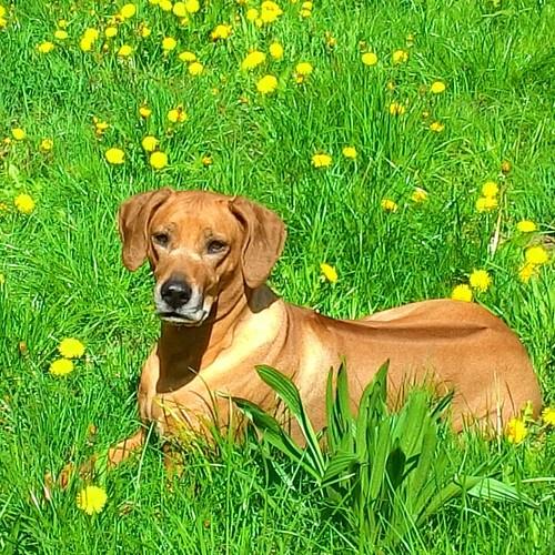 It is a lot of work in front of my #dandelionshunter 😀 💪💜 now it #resttime 💖 #mysunny #rhodesianridgeback #doggy #ilovemydog #ridgebacklovers #ridgebacksofinstagram #lyingamongdandelions #springmood #dandelions