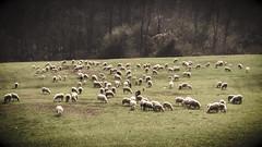 Momenti di quiete (giuseppe_calvetti) Tags: country campagna pascolo gregge