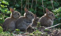 A country greeting (-Porsupah-) Tags: baby rabbit bunny closeup four three spring eyes afternoon close near young ears april warren 2016 leporidae oryctolaguscuniculus