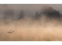 Silence (alex saberi) Tags: uk england mist lake london nature water animals fog swan pond haze wildlife richmond swans richmondpark