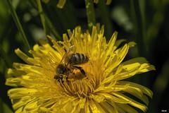 Bad im Bltenstaub 2 (Katz-Ffm) Tags: nature germany deutschland hessen frankfurt dandelion blume tamron 90mm blte biene buga pusteblume bltenstaub nikond5300