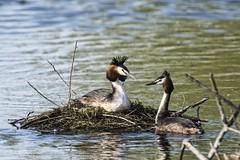 Grbe hupp - Great crested grebe (dom67150) Tags: bird nid animal nest brooding oiseau greatcrestedgrebe podicepscristatus grbehupp nidification couvaison