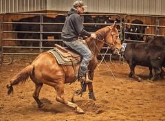 IMGP2005 (Webbed Foot Photo) Tags: horses horse pennsylvania sorting cowhorse webbedfootphotography pentaxk3 opengateranch darrenolsen dtolsen webbedfootphoto sutliffperformancehorses3272016clinic opengateranch2mansorting512016