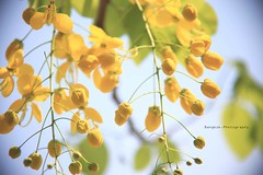 #ต้นไม้ของในหลวง #ดอกราชพฤกษ์ #ดอกไม้ประจำชาติไทย #flowerofking #Flower #thailand #bangkokphotography