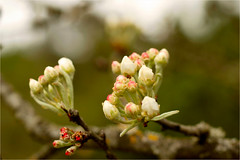 buds and blossoms (atsjebosma) Tags: france macro spring bokeh ngc buds lente bloesem knoppen atsjebosma