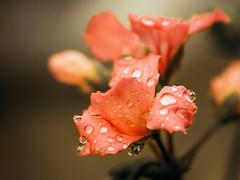 Wet geranium -explored- (Sergio '75) Tags: naturaleza plant flower nature wet sergio rain droplets spring flora soft dof blossom natur explore april geranium pelargonium gerani explored canonefs60mmf28usm canoneos70d sergio75