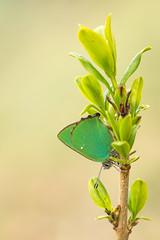 Grne Zipfelfalter (Callophrys rubi)_Q22A0637-BF (Bluesfreak) Tags: insekten schmetterlinge greenhairstreak callophrysrubi tagfalter grnezipfelfalter