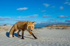 Poised (Khurram Khan...) Tags: winter dogs nikon wildlife wide npc nikkor jerseyshore redfox 2014 carnivora wildlifephotography ilovewildlife iamnikon khurramkhanphotocom