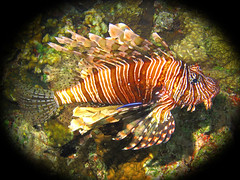Fish in a Bubble (planet_hugger) Tags: ocean fish marine redsea scuba diving snorkelling lionfish invasive marinelife invasivespecies