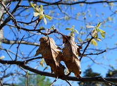 Day 114:  old and new (Mark.Swanson) Tags: leaves leaf spring oak redoak quercusrubra