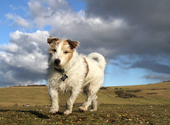 Hughie (Gay Biddlecombe) Tags: dog pet clouds sussex terrier jackrussell