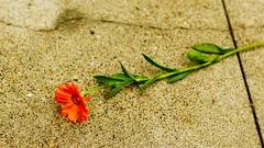Flower on Sidewalk (cacheboyz) Tags: california county city amador masking luminosity