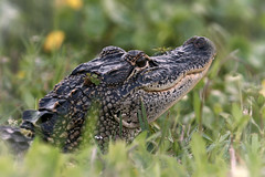 A young American alligator basking in the last rays of the sun. (Jill Bazeley) Tags: american alligator gator mississippiensis viera wetlands ritch grissom memorial brevard county florida usa wildlife melbourne reptile sony alpha a6300 adapted lens nikon 70200 f28 vr space coast fotodiox