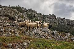 the suspicion (babajuanne) Tags: rocce pecore pecora pascolo gregge presenzasospetta