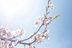 Flare (juliafrenchfrey) Tags: flowers blue trees sky plants plant flower tree cherry flora blossoms sakura cherryblossoms cherrytree hanami