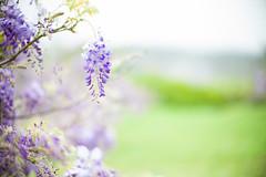 .... (Jill-Wang) Tags: leica flower 50mm bokeh noctilux wisteria m9