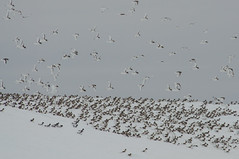 Antarctic Petrels on an iceberg (Tim Melling) Tags: sea antarctica iceberg antarctic petrel weddel thalassoica timmelling