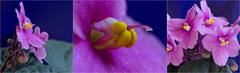 Violet triptyque (OzzRod) Tags: pink flower macro pentax africanviolet triptyque anthers extensiontubes raynox150 pentaxart smcpentaxk135mmf25 k5iis pentaxsingleinapril2016