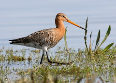 Grutto Pier [eXPLoReD] (Ger Bosma) Tags: bird closeup spring feeding wetlands wading walkin foraging wader godwit grutto blacktailedgodwit wadingbird limosalimosa waderbird uferschnepfe agujacolinegra bargequeuenoire pittimareale 2mg171523